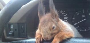 Taksówkarz z Białorusi i jego wiewiórka